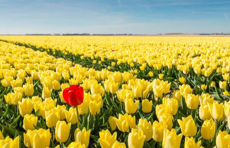 Striking-Red-Blooming-Tulip-astrology-growing